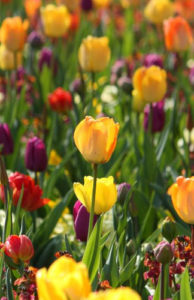Purple and yellow garden tulips