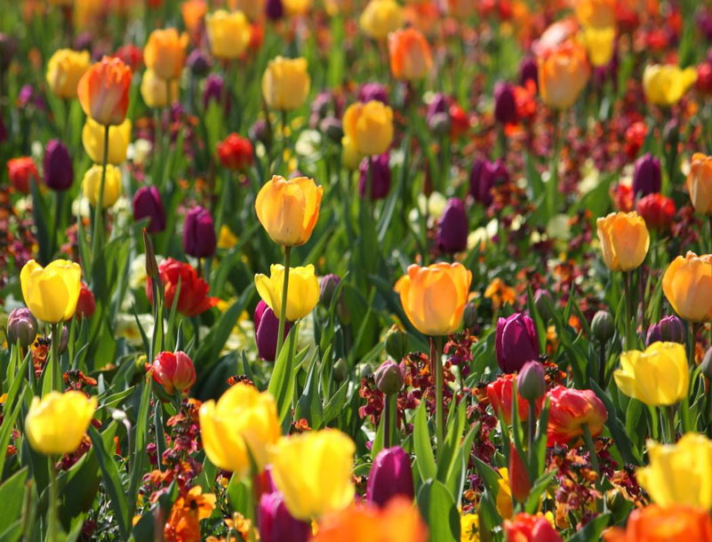 Purple and yellow garden tulips