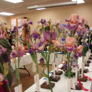 Irises entered in a show